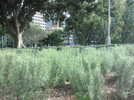 Bed of rosemary, Hyde Park, Sydney - 24.4.14. Photo T. Willsteed